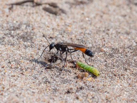 Heath Sand Wasp (Ammophila pubescens) with larva grub prey to stock its burrow