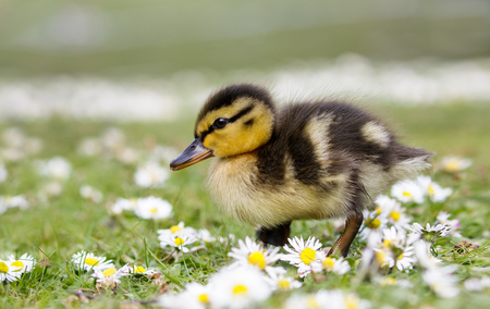 dabbling duck: Cute fluffy Mallard duckling (Anas platyrhynchos)  wondering through spring daisies