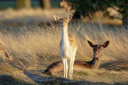 Fallow deer fawn (Dama dama) and mother female Doe behind at sunset