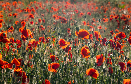 Field of rich Red Poppies , backlit by low evening sunset Stock Photo
