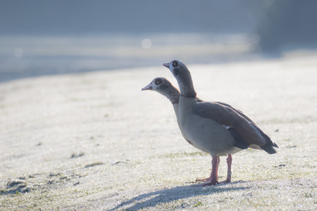 Pair of Egyptian Geese (Alopochen aegyptiacus) on a frosty winter morning Stock Photo