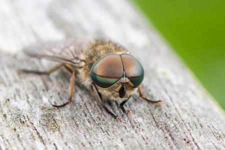 cleg: Male Pale Giant Horse-fly (Tabanus bovinus)