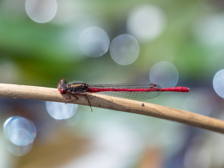Small Red Damselfly (Ceriagrion tenellum) perched resting on low stem