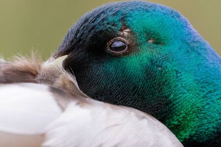 dabbling duck: Close-up portrait of male Mallard duck (Anas platyrhynchos) in breeding plumage
