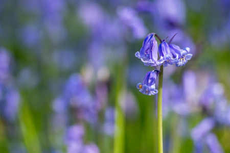 Bluebell (Hyacinthoides non-scripta) close-up among many others Stock Photo