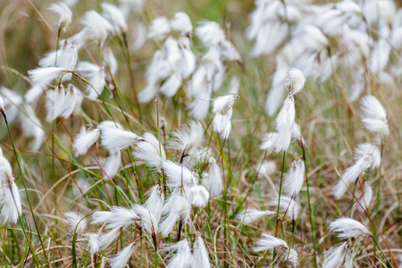 Common Cottongrass Cottonsedge or Bog Cotton (Eriophorum angustifolium) Stok Fotoğraf