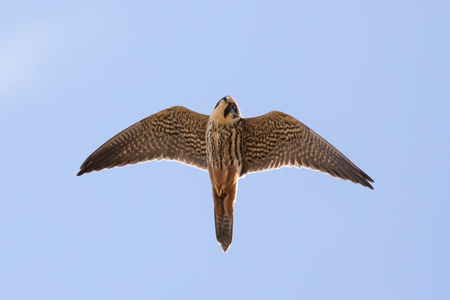 Close-up of adult Eurasian Hobby falcon (Falco subbuteo) flying, in flight overhead, showing underside underwing and red rump trousers, looking down