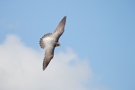 submerging: Top view of Peregrine falcon (Falco peregrinus) banking flying against blue cloudy sky