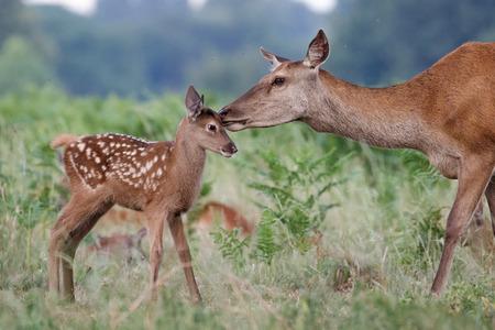 Rotwild (Cervus elaphus) weibliche Hirsch Mutter und junge Baby Kalb mit einem zärtlichen Bonding Moment