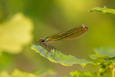 Closse up of green iridescent female Banded Demoiselle (Calopteryx splendens) perched on oak leaf Stock Photo