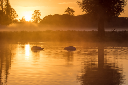 Pair of Mute Swans (Cygnus olor) sleeping on a serene peaceful golden pond at sunrise Stock Photo