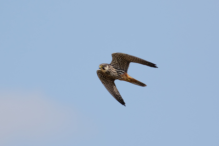 Eurasian Hobby falcon (Falco subbuteo) flying, in flight against blue sky Reklamní fotografie