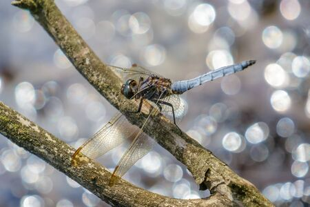 specular: Male Keeled Skimmer (Orthetrum coerulescens) perched on branch Stock Photo