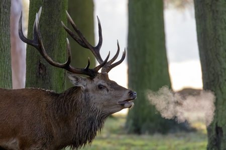 Red Deer Stag (Cervus elaphus) with breath showing in woodland copse edge