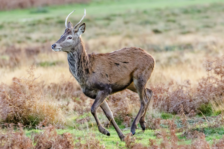 Young Red Deer buck or pricket running