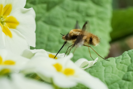 Bee-fly Beefly (Bombylius major) nectaring or drinking from Primrose (Primula vulgaris) Stock Photo