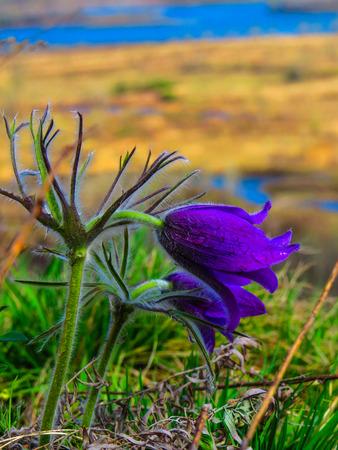 Buttercups blossomed Фото со стока