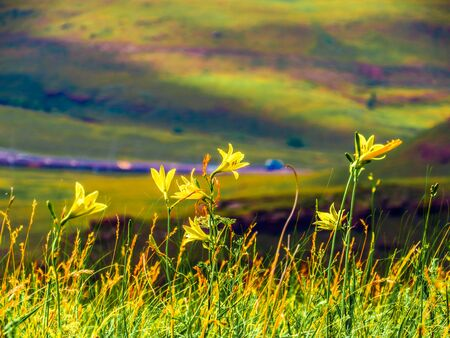 yellow flowers on the mountainside