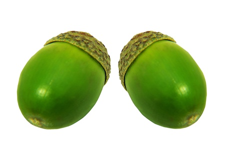 New life is represented by pair of acorns