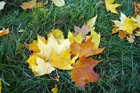 An armful of maple leaves laying on the autumn grass.
