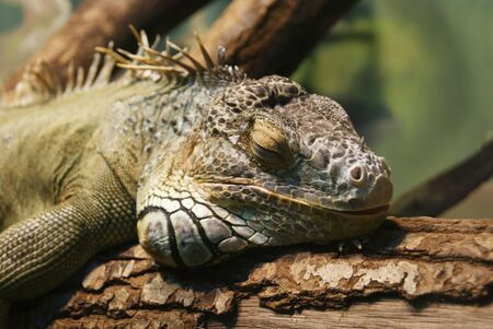 An iguana laying on a branch of tree after feeding