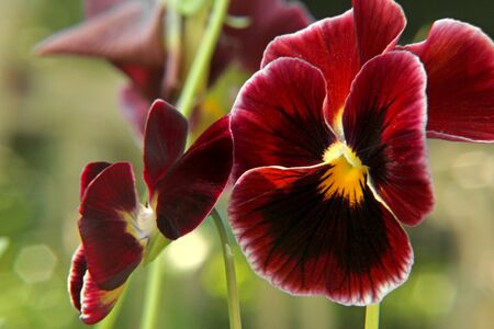 Dark red pansy flowers backround  Close up image Stock Photo