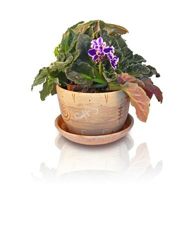 Violet in the ceramic pot