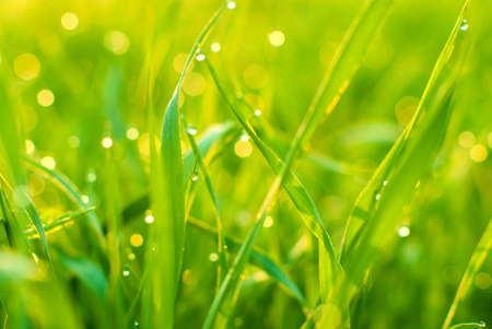 Morning dew in the young green grass photo