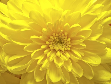 Yellow aster flower at a macro shot photo
