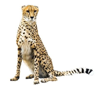 cheetah is over white background