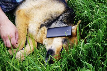 german shepherd on the grass: beautiful German shepherd dog lying on green grass in the yard