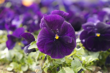 Colorful background from flower pansy. Stock Photo
