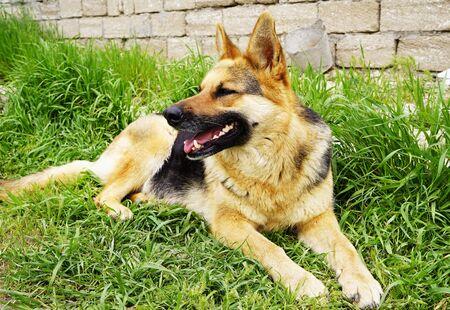beautiful red black German shepherd lying in the yard