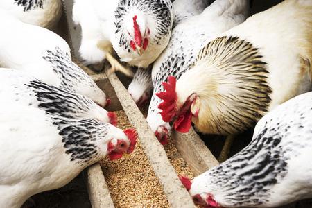 国産白、黒、茶色の鶏は木製トラフから粟を食べるします。平面図です。