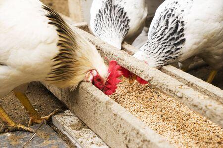 国産白、黒、茶色の鶏は木製トラフから粟を食べるします。平面図です。 写真素材 - 75394167