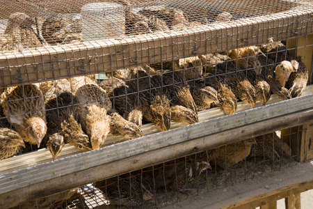 gray grow broquail in the cage in yard eating food
