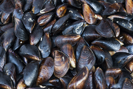Fresh live mussel stuck fast on breakwaters by the seashore