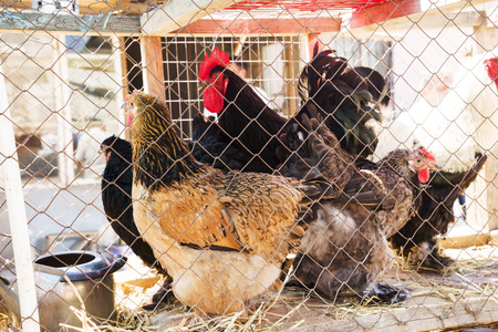multi-colored hens and roosters of the breed Brahma in a cage on the market, Buff Brahma chicken with the excessive multi-colored plumage that covers leg and foot. Meat breed