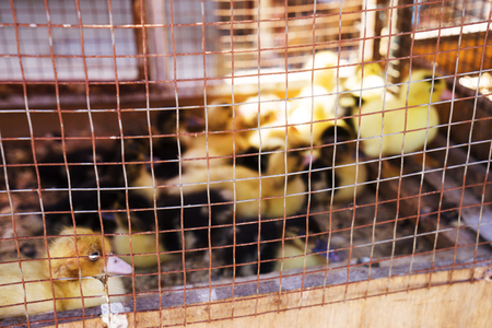chicken, duck, goose are caged for sale in the market