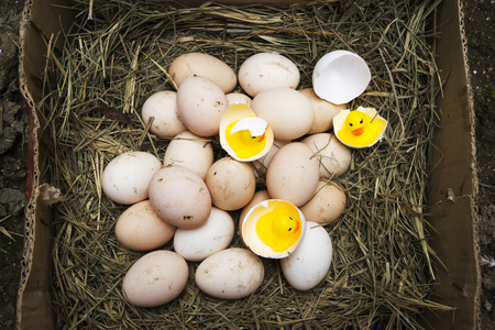 chicken, goose, duck eggs, chickens lie on the hay, chikens coming out of a brown eggs Standard-Bild - 120179645