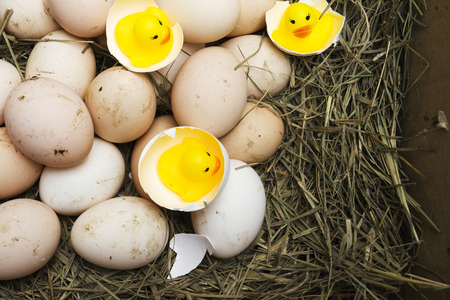 chicken, goose, duck eggs, chickens lie on the hay, chikens coming out of a brown eggs Standard-Bild - 120179648