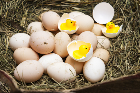 chicken, goose, duck eggs, chickens lie on the hay, chikens coming out of a brown eggs Standard-Bild - 120179649