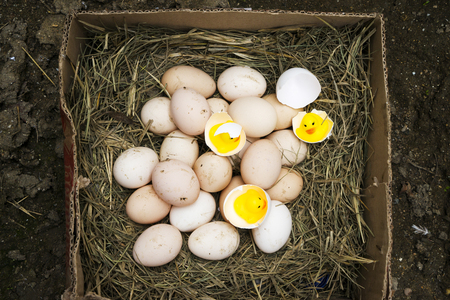 chicken, goose, duck eggs, chickens lie on the hay, chikens coming out of a brown eggs