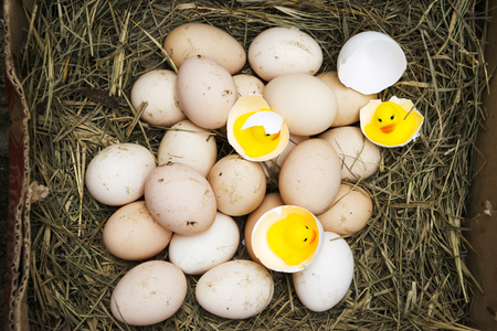 chicken, goose, duck eggs, chickens lie on the hay, chikens coming out of a brown eggs Standard-Bild - 120179653