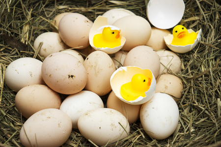 chicken, goose, duck eggs, chickens lie on the hay, chikens coming out of a brown eggs Standard-Bild - 120179654