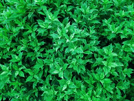 Shape and pattern of freshness green leaves for the natural background and wallpaper