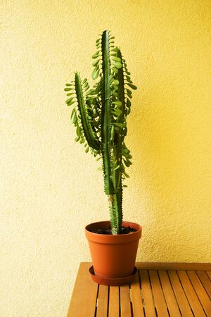 cactus in brown pot is worth on the table have yellow wall Stockfoto