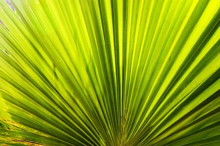 Sun shining through a radiating green leaf. Natural background texture.