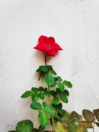 Bright colored single red rose in contrast against grey stone wall, Valentines day