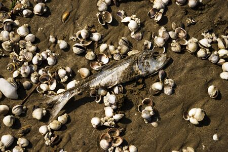 dried, dead fish herring on the sand by the sea